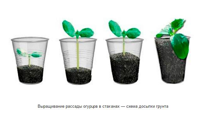 Стаканчики для рассады огурцов своими руками - Kuente.ru