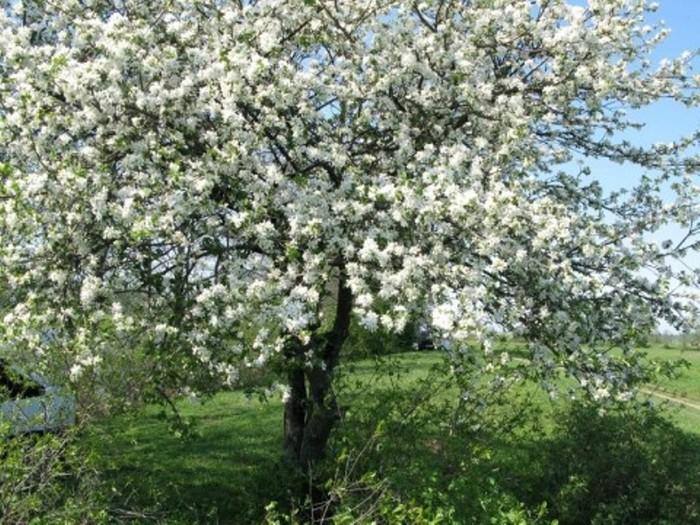 Яблоня цветёт (700x525, 151Kb)