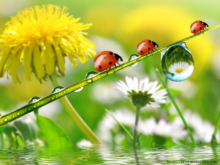 dandelions_ladybugs_drops_nature-1280x960 (700x525, 248Kb)