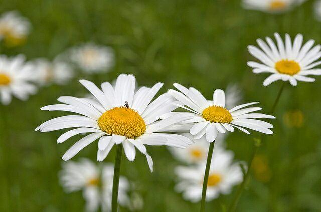 Песня ромашка цветок полевой скачать
