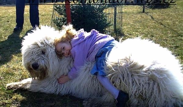 Собака Комондор или Венгерская овчарка3 (600x350, 261Kb)