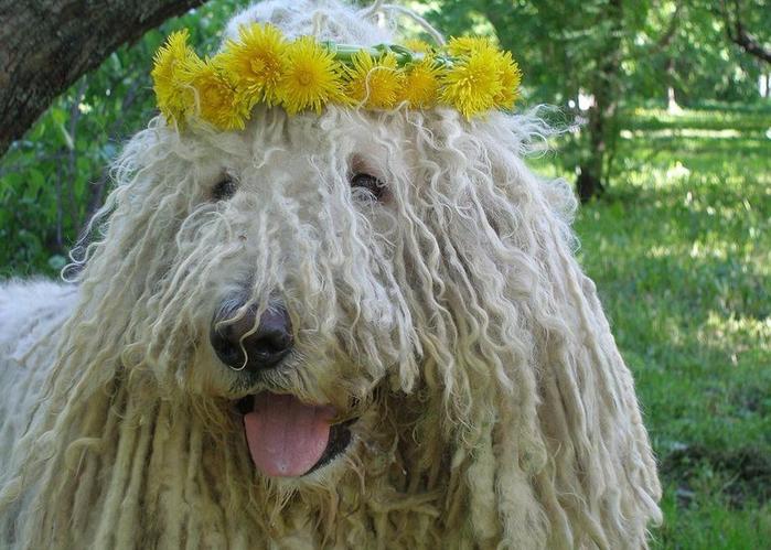Собака Комондор или Венгерская овчарка3а (700x499, 415Kb)