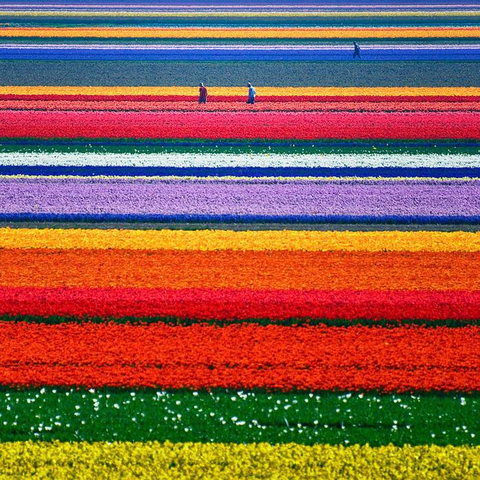 Тюльпановые поля (700x700, 913Kb)