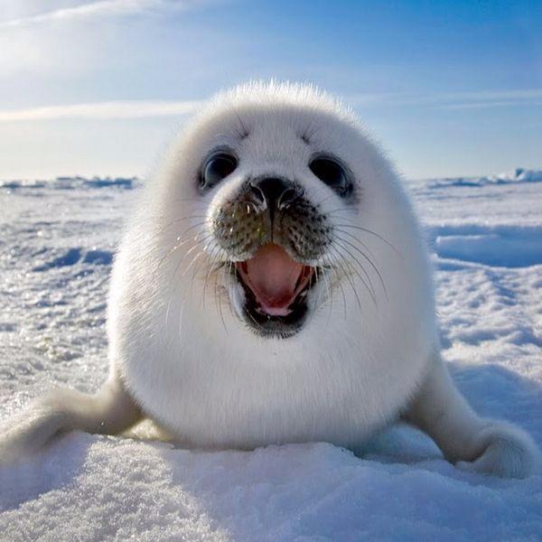 14. Морской котик восхищен от того, что его фотографируют. (600x600, 226Kb)