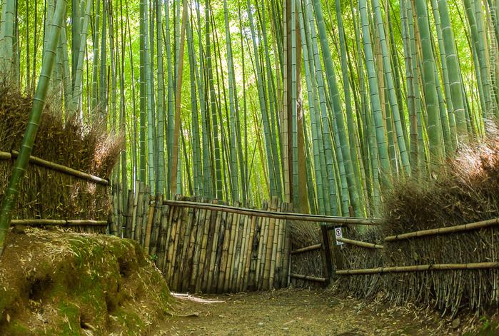бамбуковый лес в киото 4 (700x471, 623Kb)