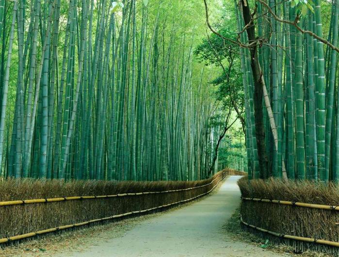 бамбуковый лес в киото 5 (700x529, 496Kb)