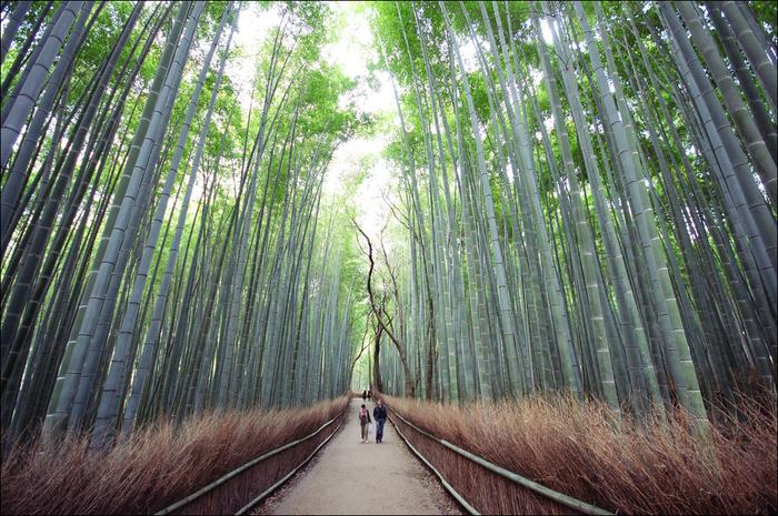 бамбуковый лес в киото 8 (700x465, 570Kb)