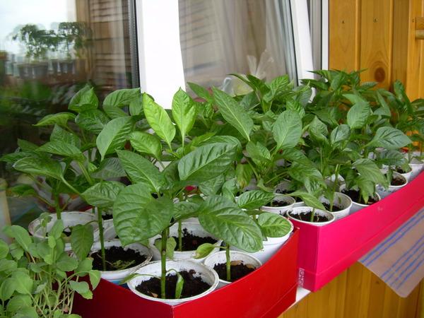 как вырастить хорошую рассаду перца (600x450, 307Kb)