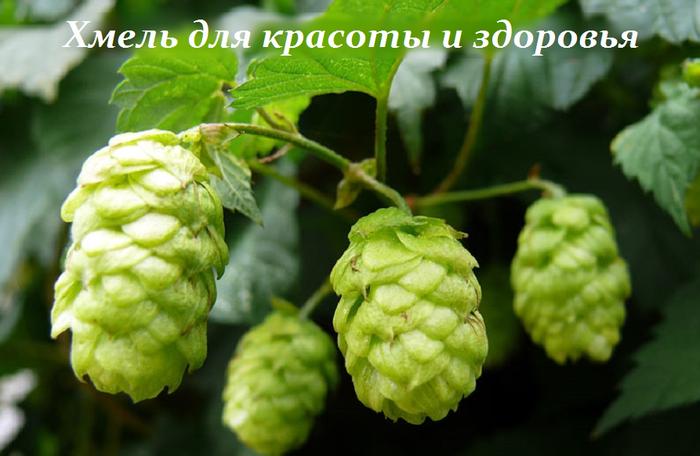 2749438_Hmel_dlya_krasoti_i_zdorovya (700x456, 421Kb)
