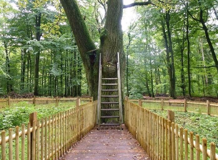 Самый романтичный дуб в миренаходится в Германии