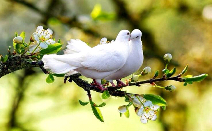 branch-couple-doves-feelings-Favim.com-2216370 (700x433, 329Kb)
