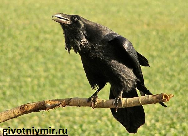 Ворона-Описание-и-образ-жизни-вороны-3 (600x433, 593Kb)
