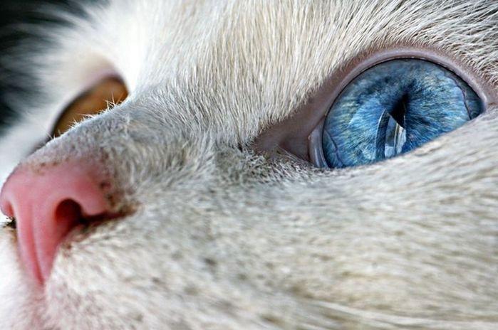 Heterochromia00 Разноглазые кошки/4897960_Heterochromia00 (700x464, 55Kb)