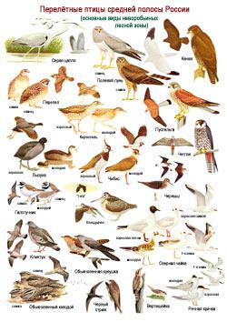 1. птицы перелетные средней полосы россии (250x354, 116Kb)