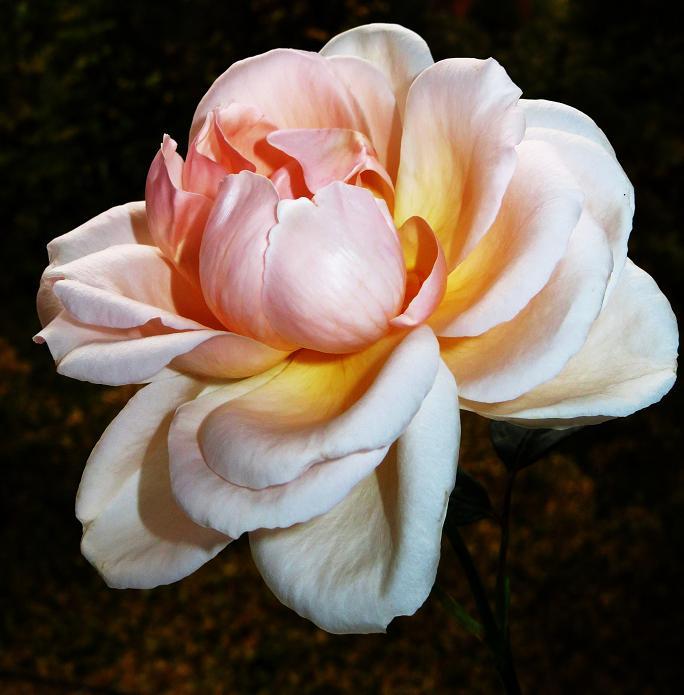 розы от ЛЭ.131838232_07 (684x695, 306Kb)
