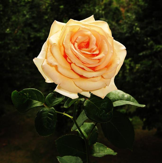 розы от ЛЭ.130561855_02 (684x689, 281Kb)