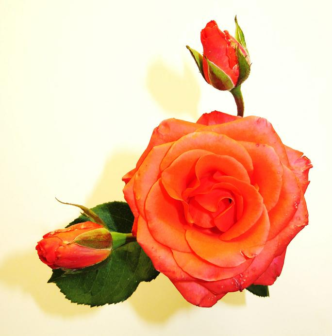 Розы от ЛЭ.130533702_03 (684x692, 249Kb)