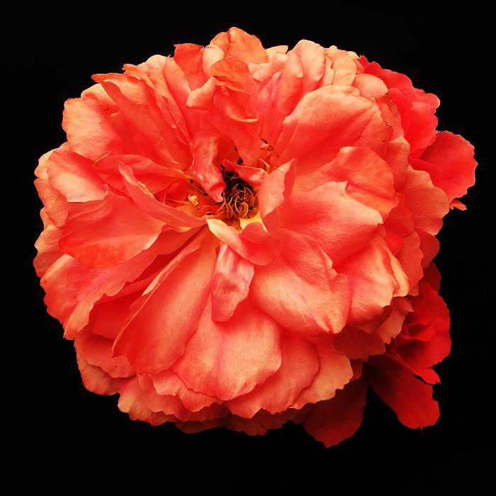 розы от ЛЭ.130475866_05 (700x700, 301Kb)