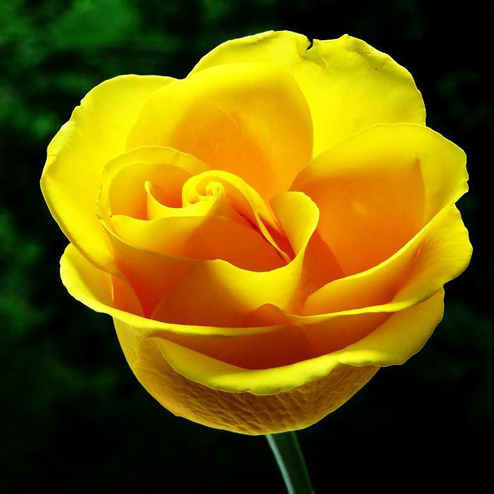 розы от ЛЭ.130475845_01 (700x700, 294Kb)