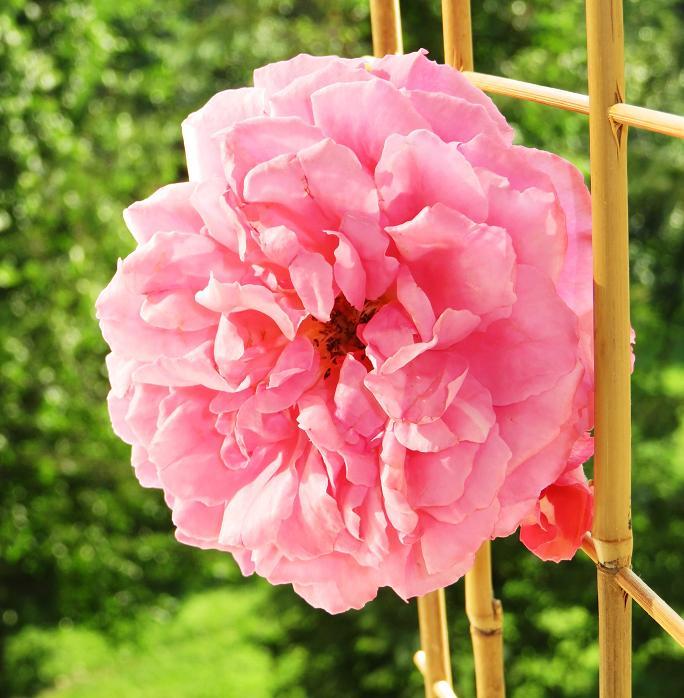 розы от ЛЭ.130251184_02 (684x698, 419Kb)