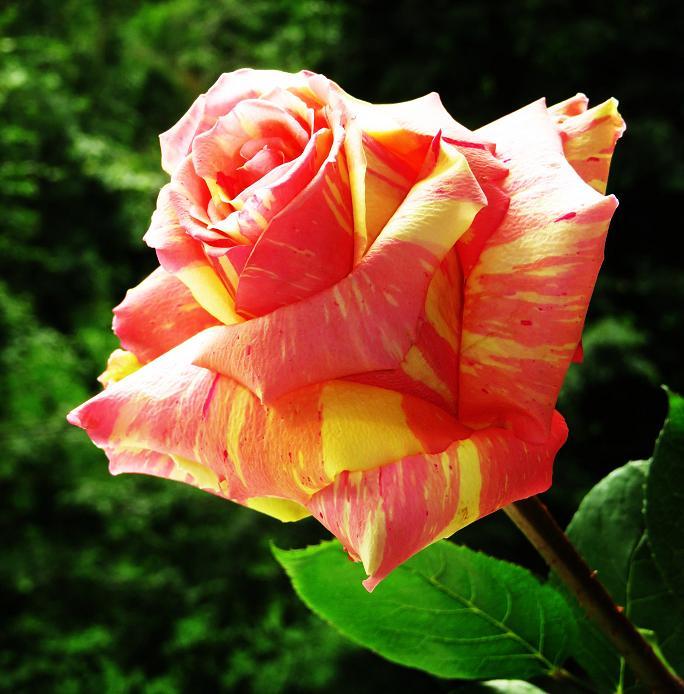 розы от ЛЭ.130121100_06 (684x694, 399Kb)
