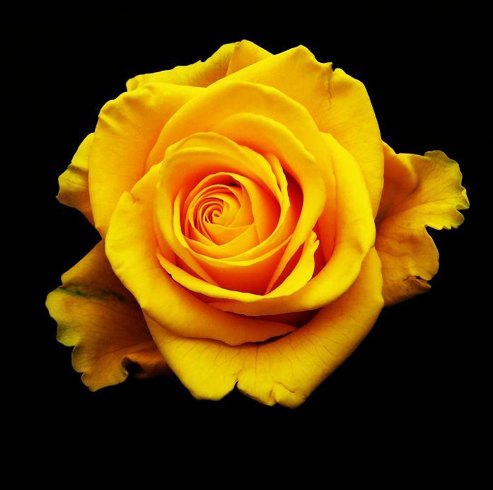 розы от ЛЭ.129231952_08 (697x693, 251Kb)