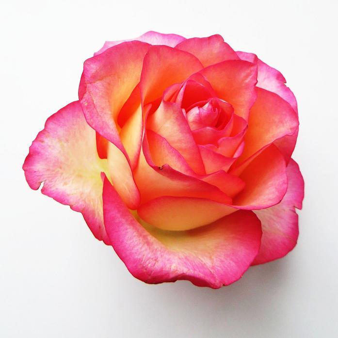 розы от ЛЭ.128355988_08 (697x697, 252Kb)