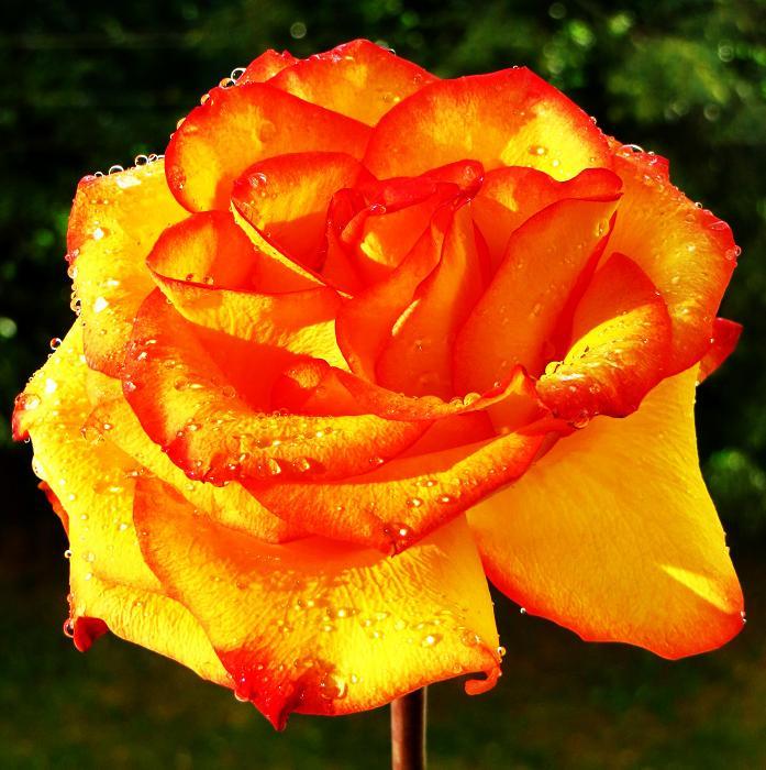 розы от ЛЭ.124443440_033 (697x700, 531Kb)