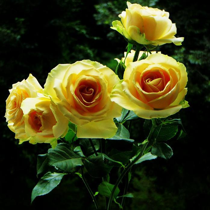 розы от ЛЭ.124039457_014 (697x697, 365Kb)