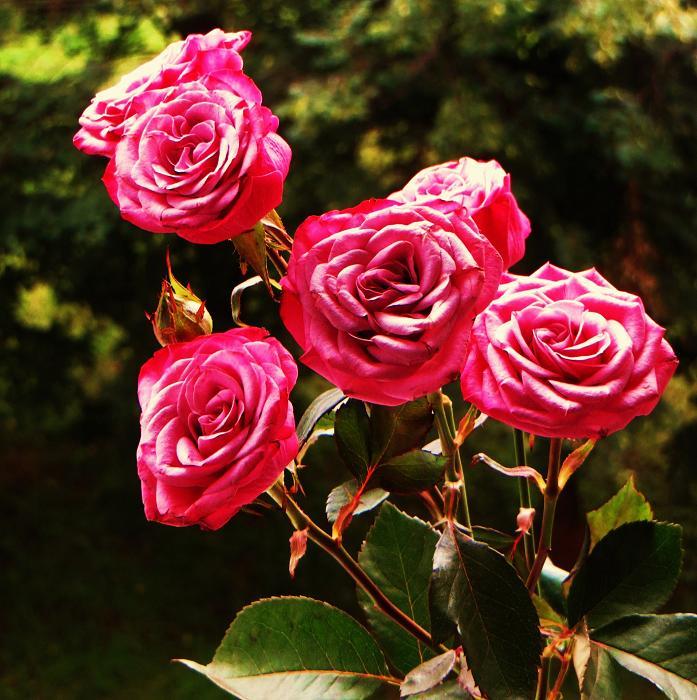 розы от ЛЭ.123839754_08 (697x700, 497Kb)