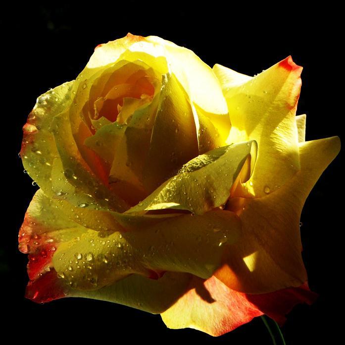 розы от ЛЭ.123799435_023 (697x696, 310Kb)