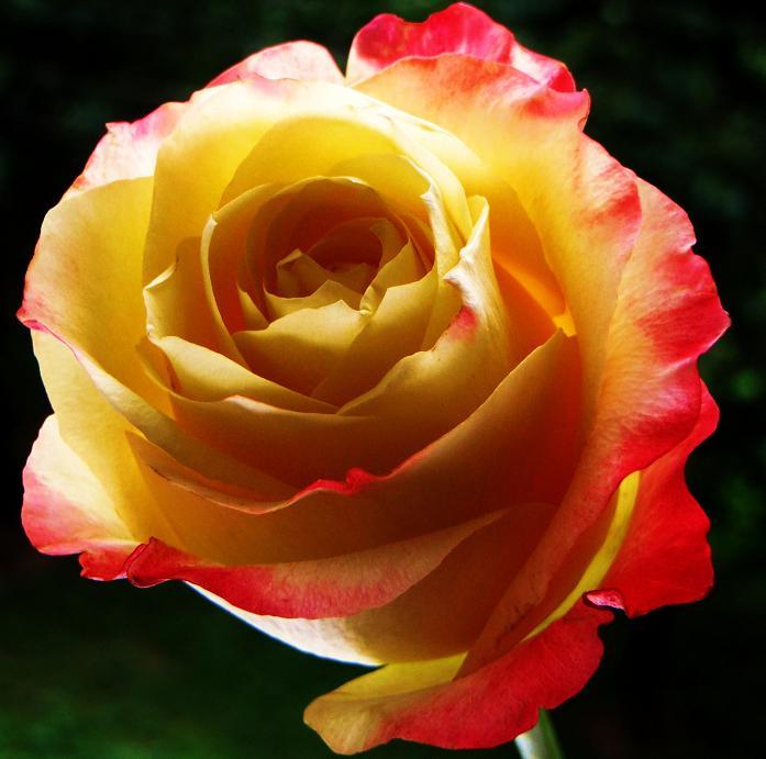 розы от ЛЭ.123780067_029 (697x691, 328Kb)