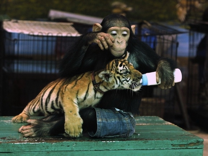 шимпанзе Дуду и двухмесячный тигренок/3185107_shimpanze_Dydy_i_dvyhmesyachnii_tigrenok (680x509, 172Kb)