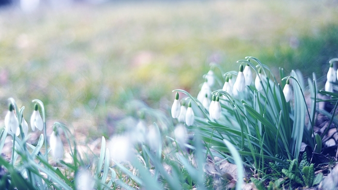 5864031_spring_snowdrops_grass_light_march_93099_2560x1440 (700x393, 196Kb)