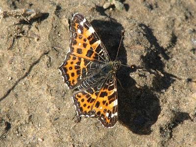 бабочка пестрокрыльница (400x299, 89Kb)