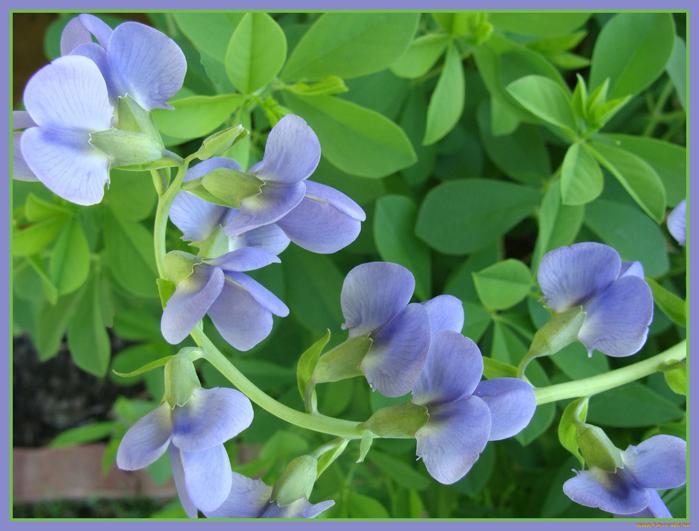 cvety-dushistyj-goroshek-listya-leto-635315 (700x531, 393Kb)
