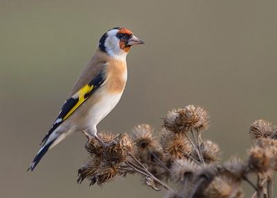 птичка щегол (400x287, 31Kb)