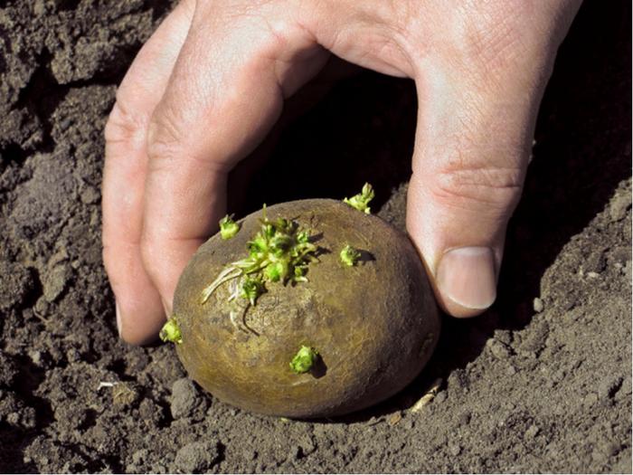 картофель (700x525, 424Kb)