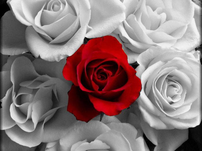 540876__white-n-red-roses_p (700x525, 60Kb)
