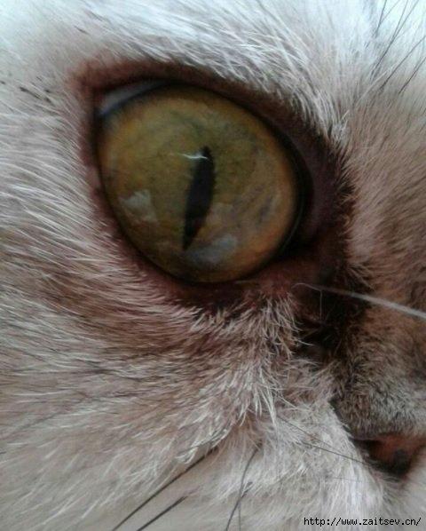 Лучшие фотографии котов и кошек/2178968_Gaba_Cats_eye (480x598, 138Kb)