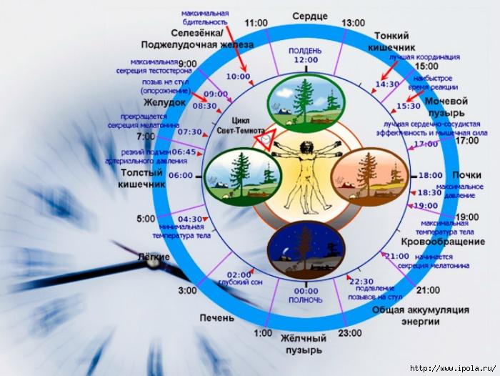 "alt=""Жизнедеятельность человеческого организма по часам!""/2835299_Jiznedeyatelnost_chelovecheskogo_organizma_po_chasam1 (700x526, 275Kb)"