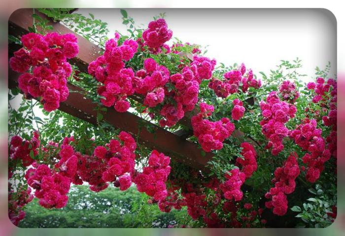розы (700x478, 222Kb)