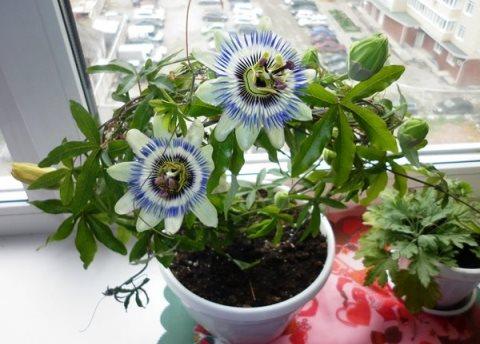 3937385_passiflora (480x344, 39Kb)