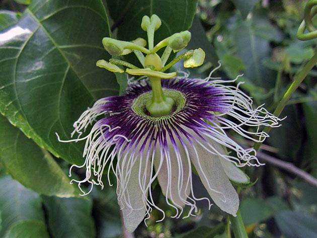 3937385_passiflora4a_edulis (630x473, 78Kb)