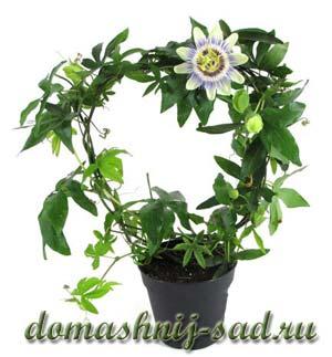 3937385_passifloracaerula (300x323, 19Kb)