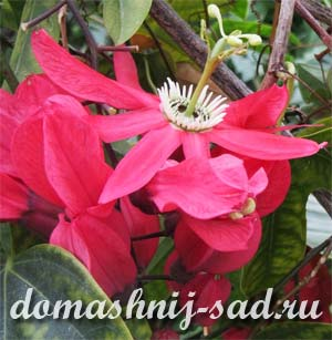 3937385_passifloraracemosa (300x307, 20Kb)