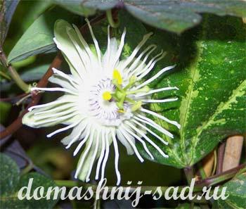 3937385_passifloratrifasciata (350x297, 24Kb)