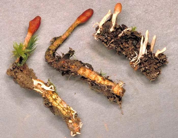 Гриб кордицепс выращивание 91
