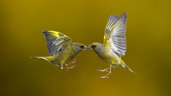 2714816_Animals___Birds_Kissing_birds_in_flight_080723_ (700x393, 117Kb)