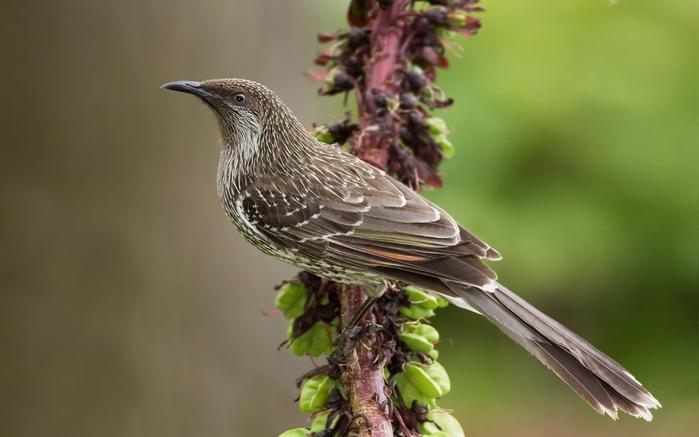 2714816_Animals___Birds_____Cuckoo_on_the_branch_083295_ (700x437, 168Kb)